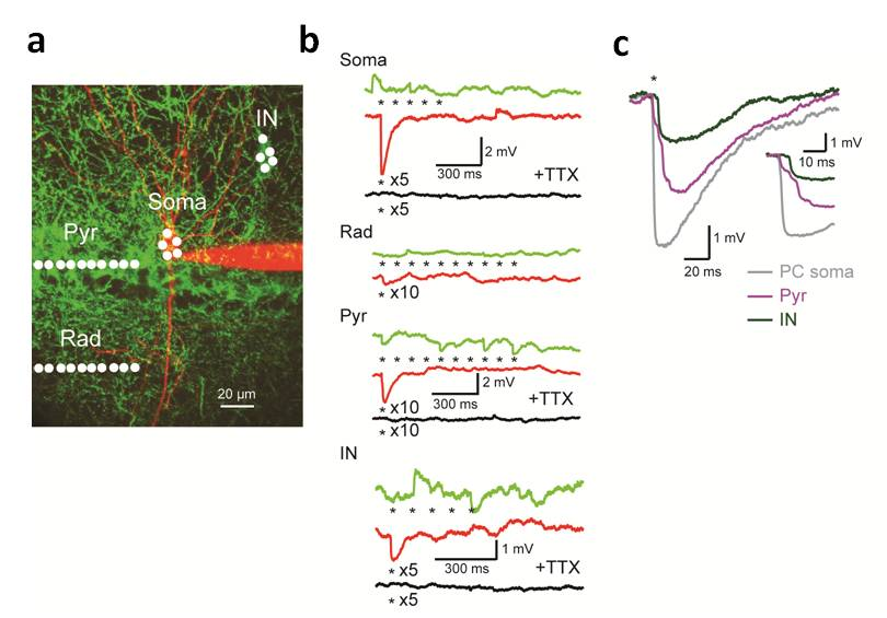 Fig. 2: Large inhibitory synaptic terminals are activated by TEFO ChR2 excitation (Click image for details)