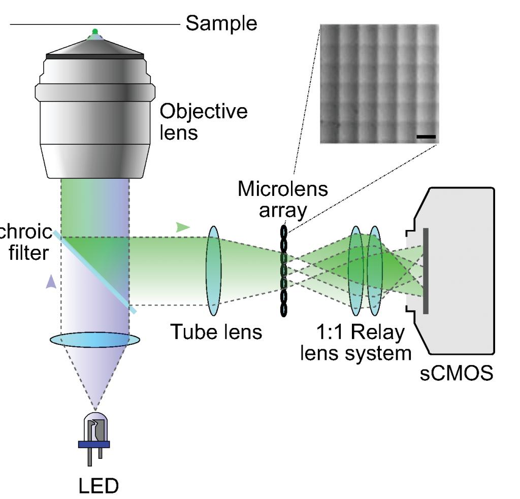 Simultaneous whole brain functional imaging of neuronal activity lfmsetup 1024x983 ccuart Images
